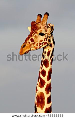Giraffe head, Ol Pejeta Conservancy, Kenya