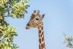 Giraffe head on a long neck near a tree against the sky