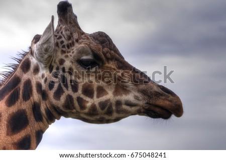 Giraffe-head-profile #675048241
