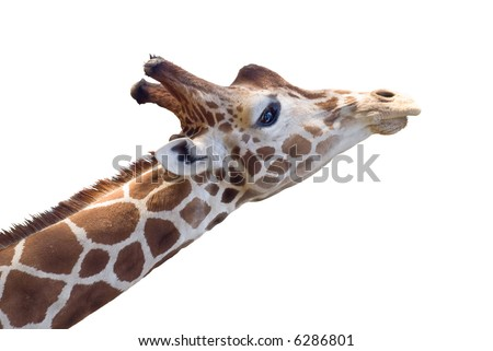 Giraffe head with dreamy expression. Isolated on white background.