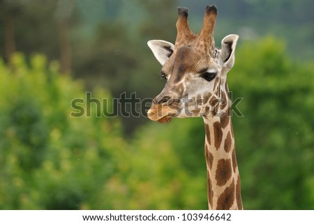 Giraffe head with neck isolated on green background