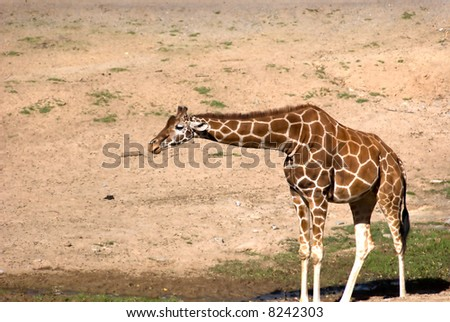 Giraffe in a field.