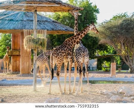 Giraffe in Al Ain zoo