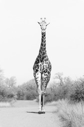 Giraffe in black an white. Mono chrome.standing tall. Wildlife