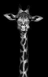 Giraffe in black and white