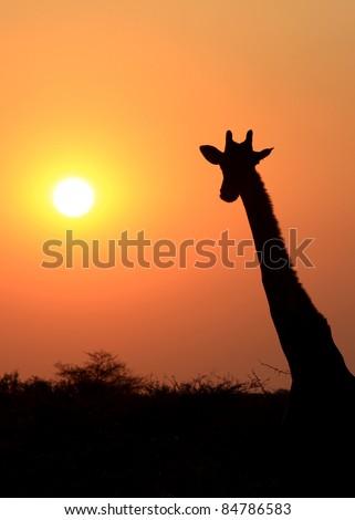 Giraffe in Etosha national reserve, Namibia