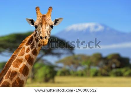 Giraffe in front of Kilimanjaro mountain - Amboseli national park Kenya #190800512