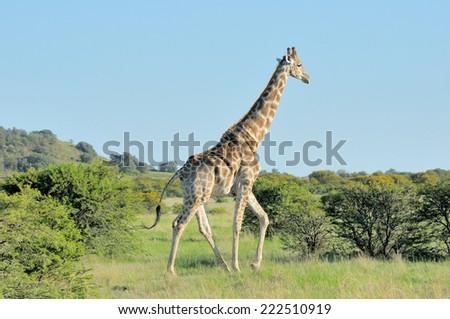 Giraffe in grass and acacia field in South Africa  #222510919