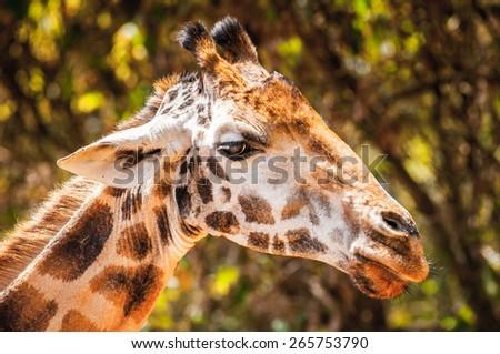 Giraffe in Kenya, Africa #265753790
