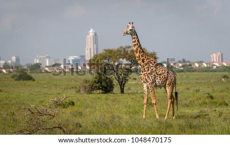 Giraffe in Nairobi city the capital of Kenya. Nairobi national park. Architecture of Nairobi in the background of beautiful giraffe.