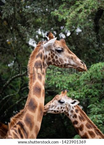Giraffe in Nairobi National Park, Kenya #1423901369