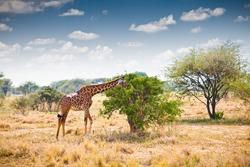Giraffe in national park in Tanzania. Africa.