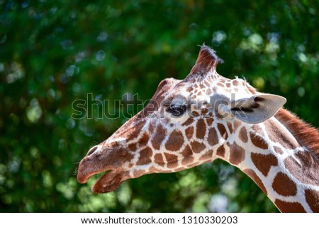 Giraffe in nature. African giraffe. Portrait of a giraffe. #1310330203