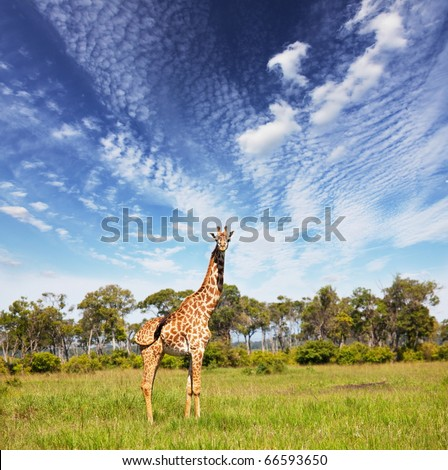 giraffe in savannah