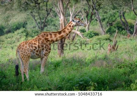 Giraffe in savannah of Masai Mara and Serengeti, in Kenya and Tanzania Africa. Green grass and bushes giraffe looking around. Beautiful masai giraffe in east African National park. #1048433716