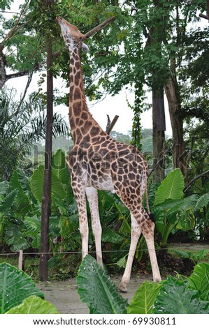 Picture Singapore  on Giraffe In Singapore Zoo Stock Photo 69930811   Shutterstock