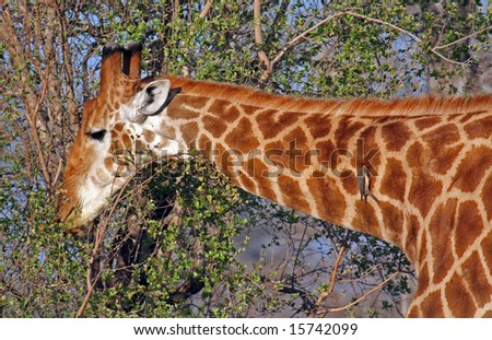 Giraffe in South Africa, Sabie Sand, wildlife