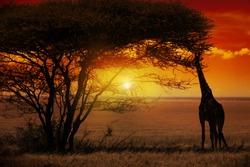 Giraffe in Sunset in Africa