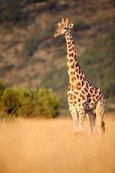 Giraffe in tall grass