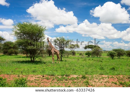 Giraffe in Tarangire national park in Tanzania