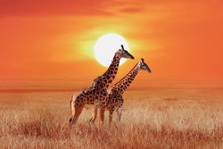 Giraffe in the African savanna against the backdrop of beautiful sunset. Serengeti National Park. Tanzania. Africa.