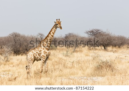Giraffe in the Etosha National Park - stock photo