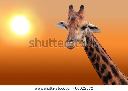 Giraffe in the evening