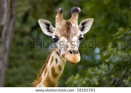 Giraffe in the savanna, long neck and curious face