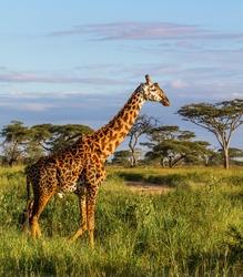 Giraffe in the Serengeti National Park - Tanzania