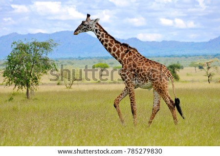 giraffe in the wild #785279830