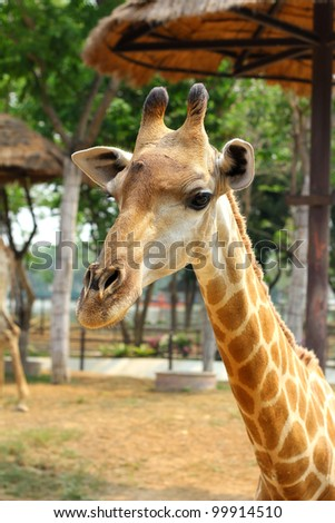 Giraffe in the Zoo, Thailand.