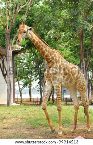 Giraffe in the Zoo, Thailand.