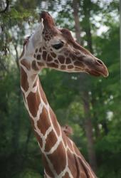 Giraffe in the zoo (Tiergarten)