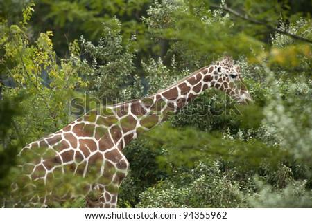 Giraffe in tree. Copy space #94355962