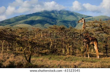 Giraffe in trees of acacias. The giraffe is grazed at mountain in trees of prickly acacias.