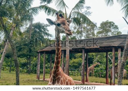Giraffe in wildlife Sanya Hainan China