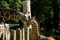 Giraffe in Zoo in Berlin