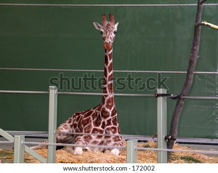 Giraffe indoors at the zoo