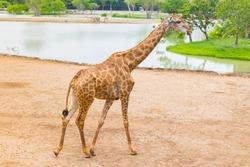 Giraffe is an African mammal, the tallest living terrestrial animal. It is walking beside the river.