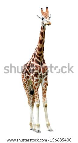 Giraffe Cartoon Stock Images RoyaltyFree Images