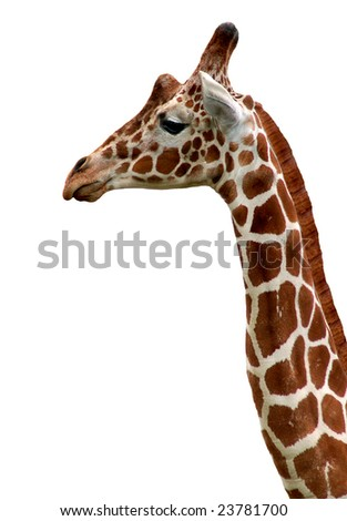 Giraffe isolated - stock photo