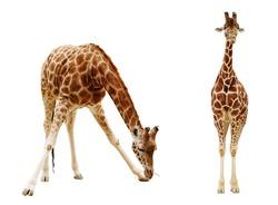Giraffe isolated on white background.