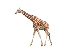 Giraffe, isolated on white background