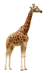 Giraffe isolated on white background. Clipping path included