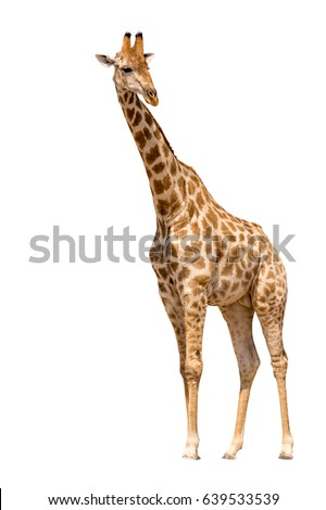 Giraffe isolated on white background, seen in namibia, africa #639533539