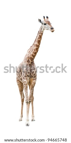 giraffe isolated on white with clipping path - stock photo