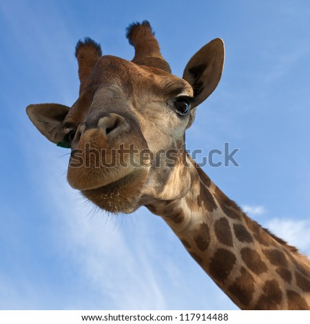 Giraffe look in the camera - stock photo