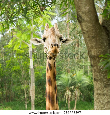 Giraffe looking for food during the daytime. #759226597