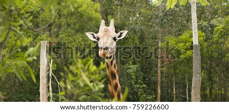 Giraffe looking for food during the daytime. #759226600