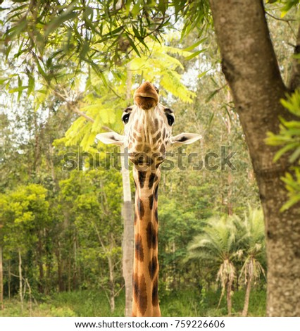 Giraffe looking for food during the daytime. #759226606